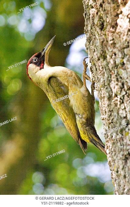 Green Woodpecker, picus viridis on Tree Trunk, Normandy