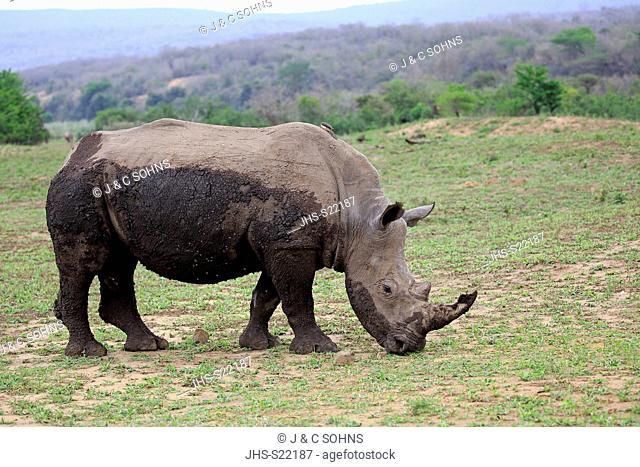 White Rhinoceros, Square-Lipped Rhinoceros, (Ceratotherium simum), adult male feeding, Hluhluwe Umfolozi Nationalpark, Hluhluwe iMfolozi Nationalpark