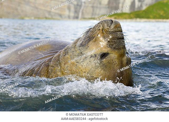 Southern elephant seal bull subadult male (Mirounga leonina) relaxing, floating on his back in sea, close up, fall, Gold Harbour, Southern Ocean