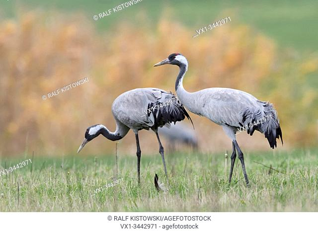 Common Cranes ( Grus grus ), two, pair, couple, resting on grassland, searching for food, close by, detailed shot, natural surrounding, wildlife, Europe