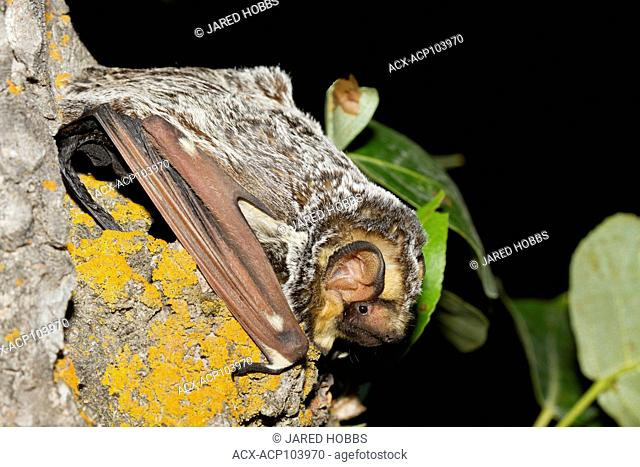 Close up of Spotted Bats in Lillooet, British Columbia, Grasslands