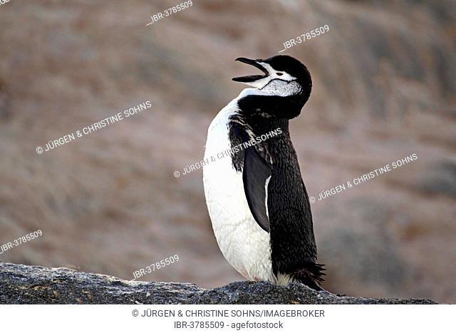 Chinstrap Penguin (Pygoscelis antarctica), adult, rock, yawning, Brown Bluff, Antarctica