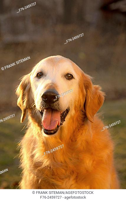 13 year old golden retriever male dog sitting in the glow of the setting sun