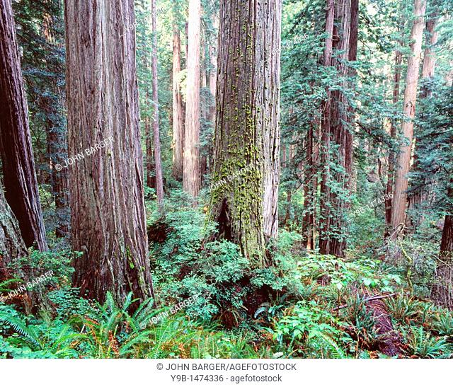 Redwoods Sequoia sempervirens tower above ferns and seedlings in understory, Prairie Creek Redwood State Park, northern California, USA