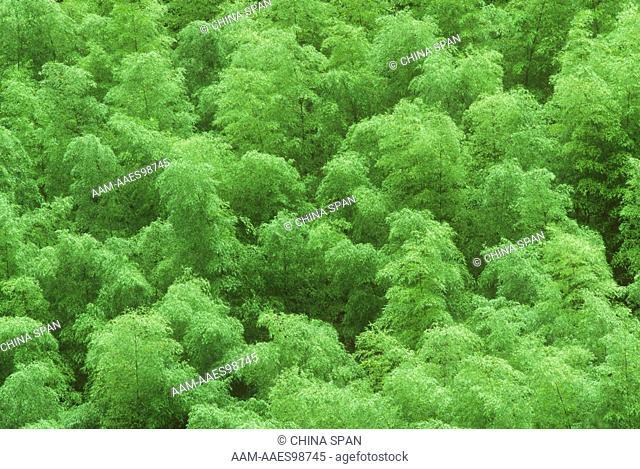 Bamboo Forest - Anhui, China