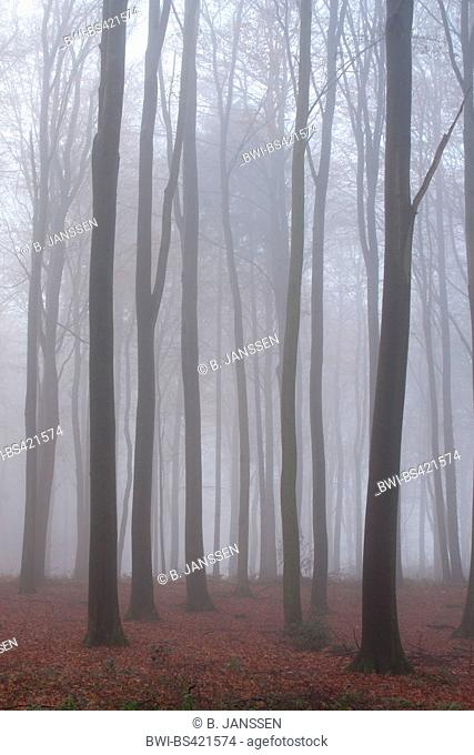 deciduous forest with mist in late autumn, Germany, Schleswig-Holstein