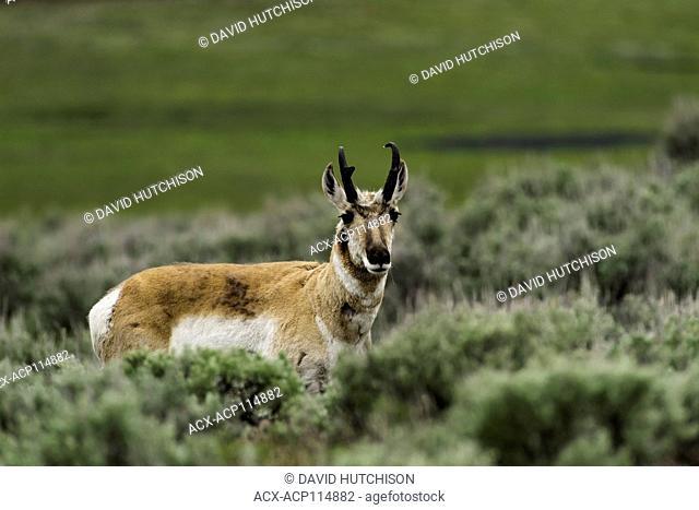 Pronghorn (Antilocapra americana), Yellowstone National Park, Wyoming, USA