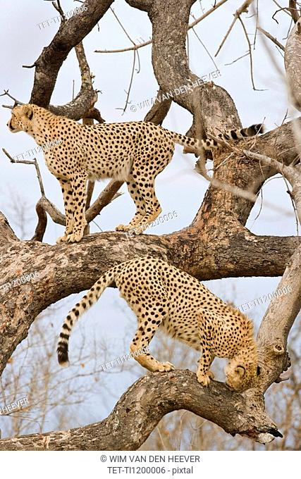 Cheetahs in tree, Greater Kruger National Park, South Africa