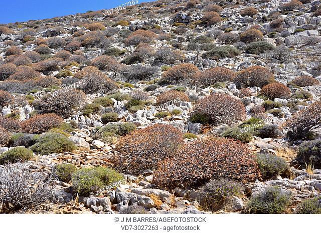Tree spurge (Euphorbia dendroides) is a shrub native to Mediterranean coastline. This photo was taken in Folegandros Island, Greece