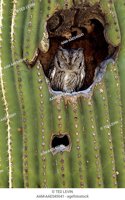 Western Screech Owl (Otus kennicottii) in Saguaro/AZ