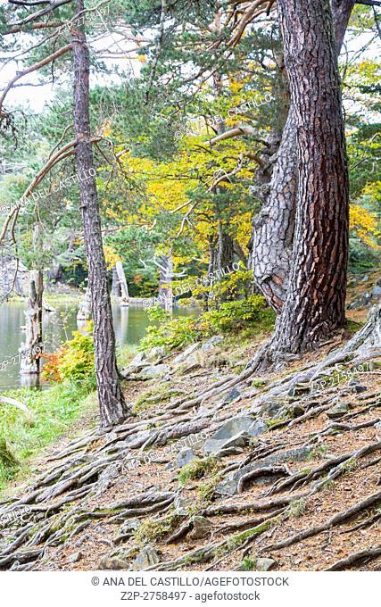 Autumn forest in Bassa de Oles lake near to Gausac, Valle de Aran valley in Lleida, Catalonia, Spain
