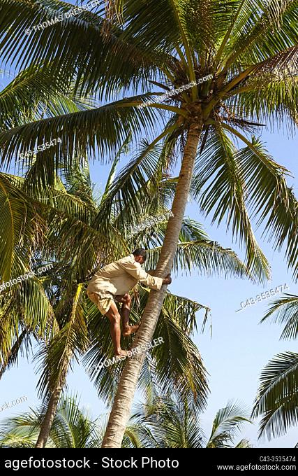 Climbing a Coconut tree (Cocos nucifera) in order to harvest the coconuts. Baracoa, Cuba