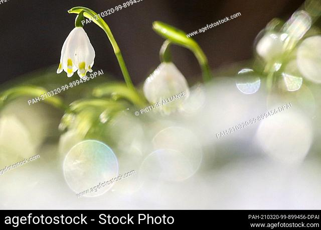 20 March 2021, Baden-Wuerttemberg, Emeringen: Marzenbecher (Leucojum vernum) stand on a meadow covered with snow and are illuminated by the sun
