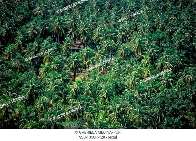 Aerial view of palm trees in a forest, Venezuela