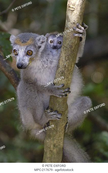 Crowned Lemur Eulemur coronatus, mother with baby, vulnerable species, Ankarana Special Reserve, northern Madagascar