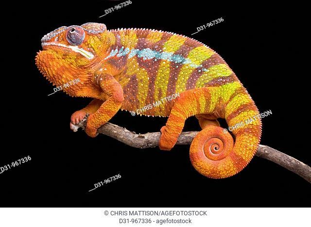 Panther Chameleon, Furcifer pardalis, Ambilobe, Madagascar
