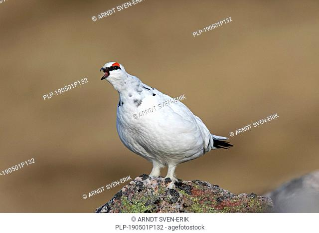 Rock ptarmigan (Lagopus muta / Lagopus mutus), male calling among rocks in winter plumage, Cairngorms National Park, Scotland, UK