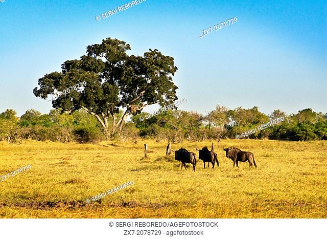 Some wildebeest scamper near the camp Savute Elephant Camp by Orient Express in Botswna in Chobe National Park . In the first days of June sees one of the most...