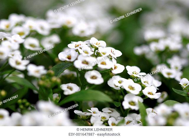 clear crystal white alyssum