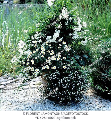 Jar with white flowers, solanum crispum, bacopa and heuchera