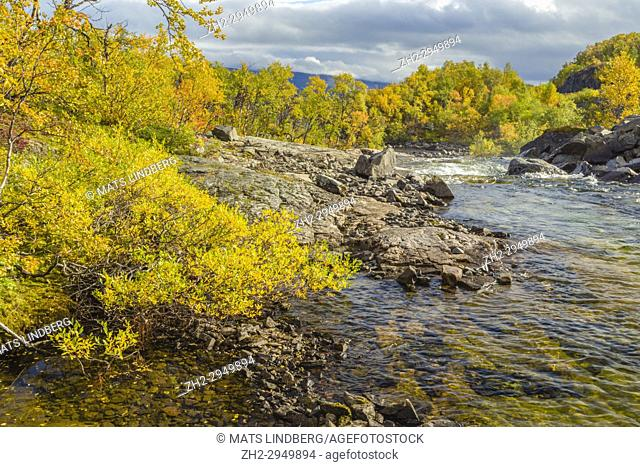 Autumn landscape with a creek surounded by yellow bich trees, Kiruna county, Swedish Lapland, Sweden