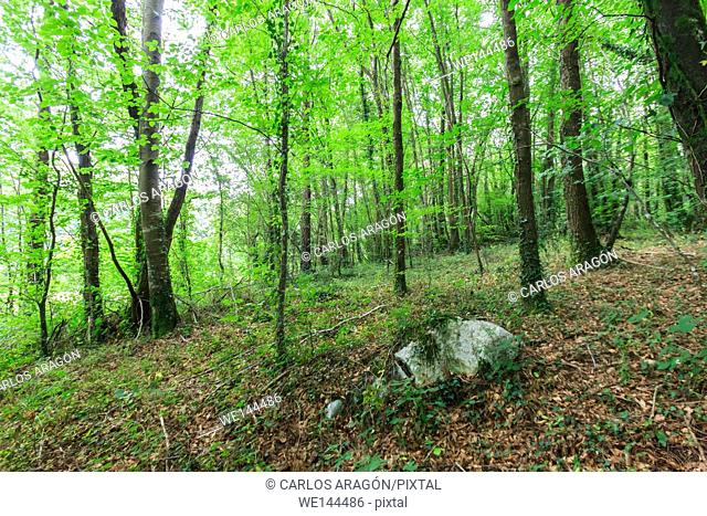 Scenic view of a beech wood in summer