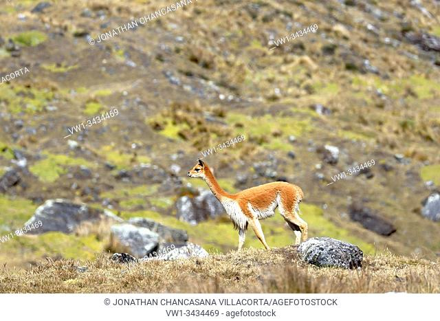 Vicuña (Vicugna vicugna) walking during the day for its extensive areas full of pastures in the Andes. Huancayo - Perú