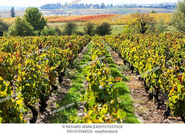 vineyards of Beaujolais, Rhone-Alpes, France