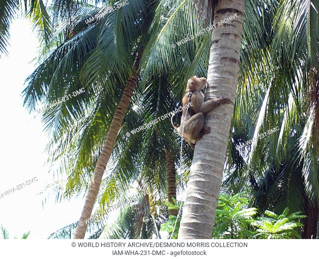 Monkey collecting coconut Stock Photos and Images | age