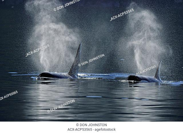 Killer whale Orcinus orca Resident pod in summer feeding territory, Johnstone Strait, Vancouver Island, British Columbia, Canada