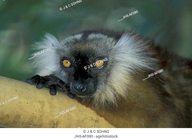 Black Lemur , Lemur macaco , Nosy Komba , Madagascar , Africa , Adult female Portrait