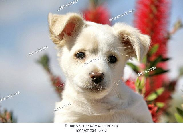 Labrador crossbreed pup, portrait