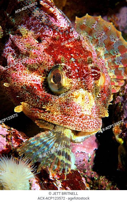 Red Irish Lord sculpin fish, Hemilepidotus hemilepidotus, predation on a small unknown fish species, Browning Passage, British Columbia, Canada