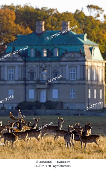 Fallow Deer (Dama dama). Mature buck and does in front of the hunting lodge Hermitage. Jaegersborg Dyrehave, Copenhagen, Danmark