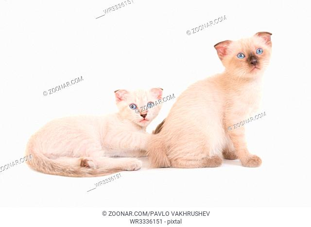 Two lying purebred kittens isolated on white background. Studio shot