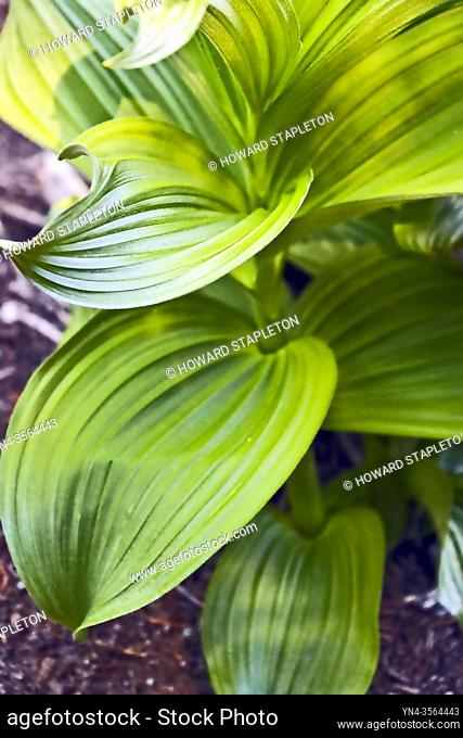 Wild hellebore (Veratrum viride) plant without flowers. This plant is known by several names including Indian hellebore Indian poke, corn-lily, Indian hellebore