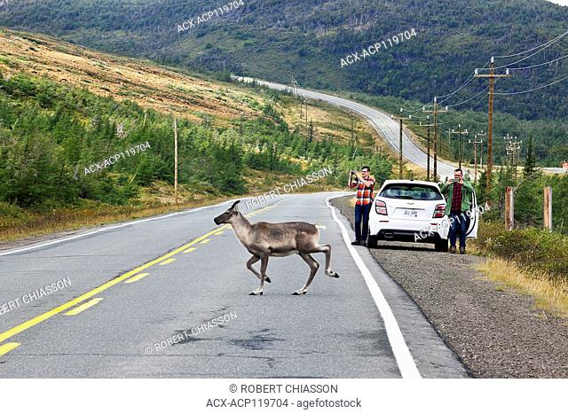 Tourists stopped by a highway snapping pictures of a caribou crossing behind their parked car. Route 431, The Tablelands, Gros Morne National Park, Newfoundland