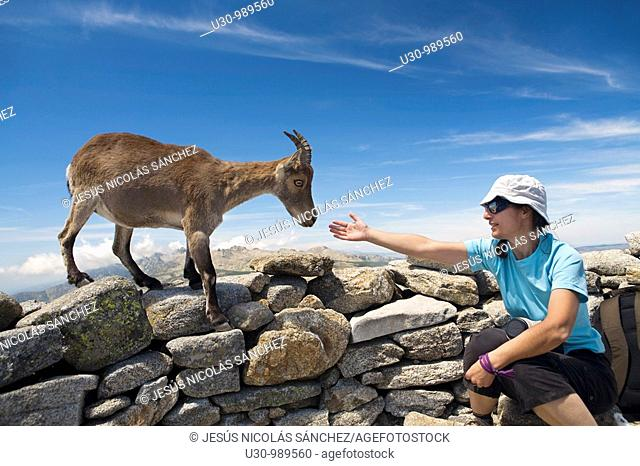 Confident female Spanish Ibex smelling a woman's hand in La Mira peak 2 341 m  Mountains of the Sierra de Gredos National Park  Hoyos del Espino  Ávila...