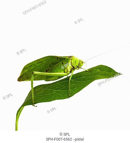 Katydid (family Tettigoniidae)