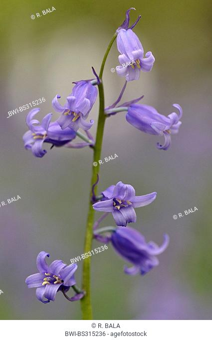 Atlantic bluebell (Hyacinthoides non-scripta, Endymion non-scriptus, Scilla non-scripta), blooming on the forest ground in spring, Germany