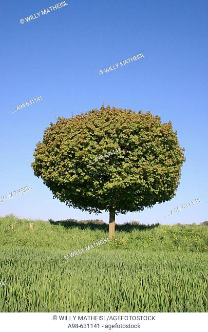 single maple tree on field