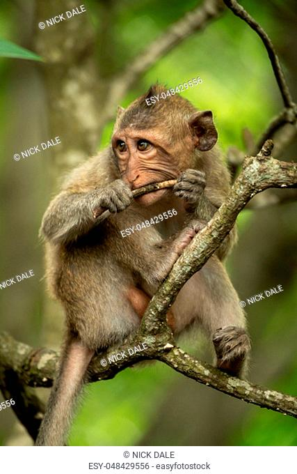 Baby long-tailed macaque in tree gnawing twig