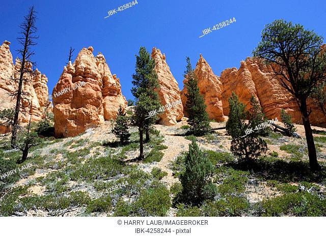 Coloured rock formations, fairy chimneys, Navajo Loop Trail, Bryce Canyon National Park, Utah, USA