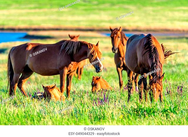 Mustangs or wild horses graze on meadow in Russia