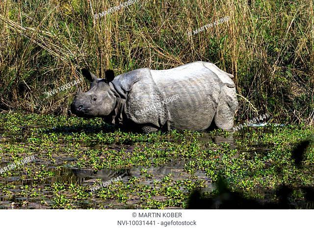 Indian rhino in Chitwan National Park, Nepal