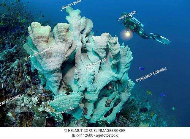 Diver and Elephant Ear Sponge (Ianthella basta), Moalboal, Cebu, Visayas, Philippines