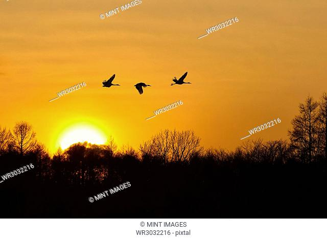 Silhouette of three red-crowned cranes, Grus japonensi, Japanese crane, in flight at sunset