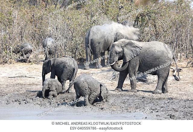 African elephants taking a mudbath, Moremi - Botswana