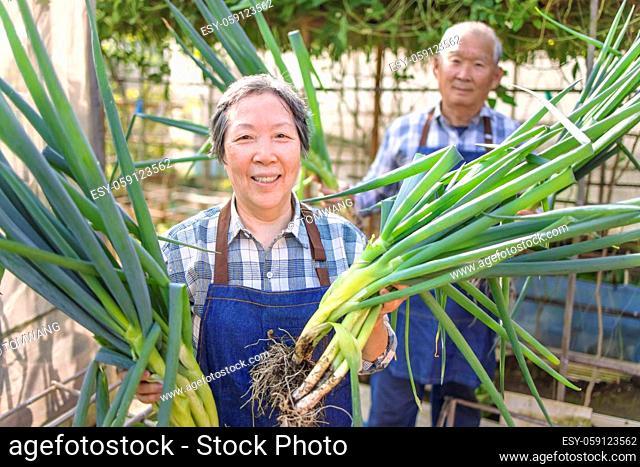 Happy senior couple farmer showing fresh green vegetable in the vegetable garden