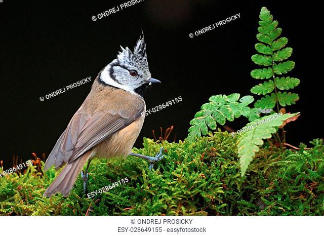 Crested Tit, sitting songbird